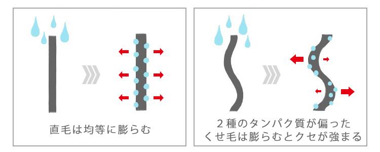 直毛はタンパク質のバランスが取れているので直毛のまま膨らみますが、2種のタンパク質が偏ったくせ毛は膨らむとクセが強まります